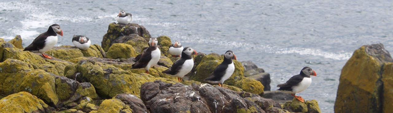 Puffins on the Isle of May in Scotland